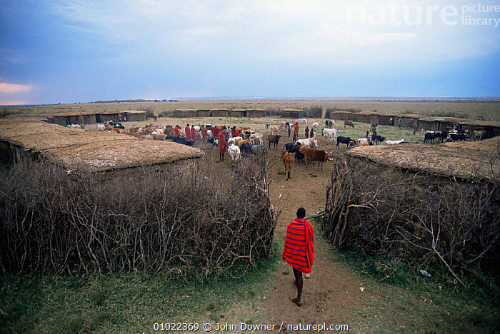 Masai coral with traditional huts and cattle, Kenya. East Africa., AFRICA,AGRICULTURE,BUILDINGS,EAST AFRICA,GROUPS,HOMES,LIVESTOCK,PEOPLE,EAST-AFRICA, John Downer