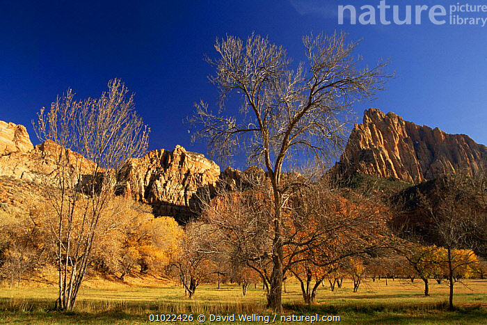 Autumn colours in Zion NP, Utah, USA, LANDSCAPES,MOUNTAINS,NP,USA,North America,National Park, David Welling