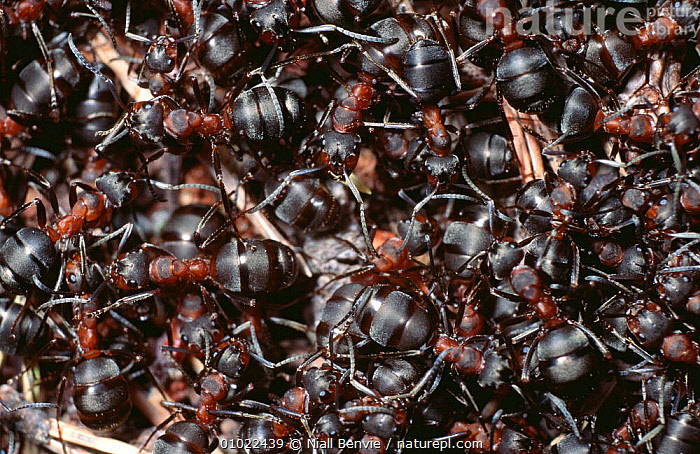 Close up of Wood ants massed on ant hill (Formica rufa), Abernethy, Scotland, ANTS,ARTHROPODS,CLOSE UPS,EUROPE,GROUPS,HYMENOPTERA,INSECTS,INVERTEBRATES,MASS,SCOTLAND,SOCIAL BEHAVIOUR,UK,United Kingdom,British, Niall Benvie