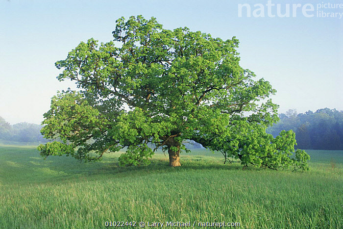 Oak tree (Quercus sp) in field, Wisconsin, USA, CROPS,DICOTYLEDONS,FAGACEAE,GRASSLAND,LANDSCAPES,PLANTS,PORTRAITS,SUMMER,TREES,USA,North America, Larry Michael