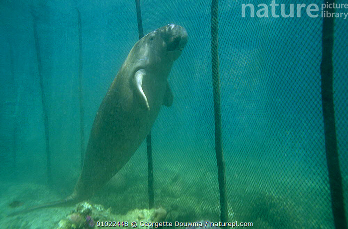 Juvenile Dugong {Dugong dugong} caught in fish trap, Sulawesi, Monado, Indonesia, COASTAL WATERS,CONSERVATION,DUGONGS,ENDANGERED,ENVIRONMENTAL,FISHERIES,IMMATURE,INDIAN OCEAN,INDONESIA,JUVENILE,MAMMALS,MANATEES,MARINE,NETS,PROBLEM,SEA,SOUTH EAST ASIA,TRAPPED,TROPICAL,UNDERWATER,VERTEBRATES,Asia,Sirenia,SOUTH-EAST-ASIA, Georgette Douwma