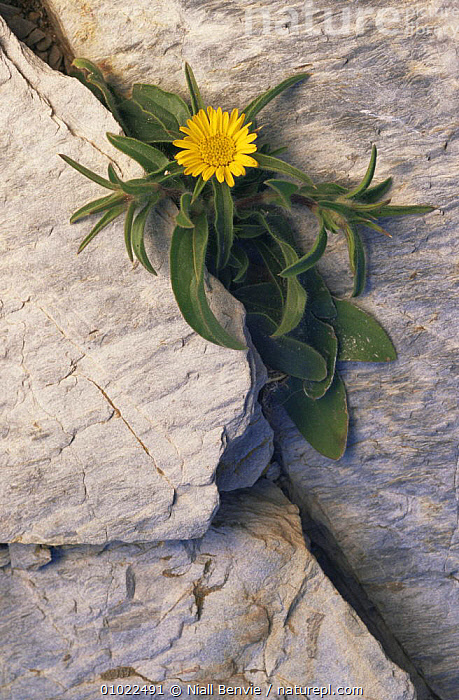 Asteriscus in flower, growing in rock. (Asteriscus sp) Vai Crete, ASTERACEAE,COMPOSITAE,DICOTYLEDONS,FLOWERS,GREECE,PLANTS,PORTRAITS,Europe, Niall Benvie
