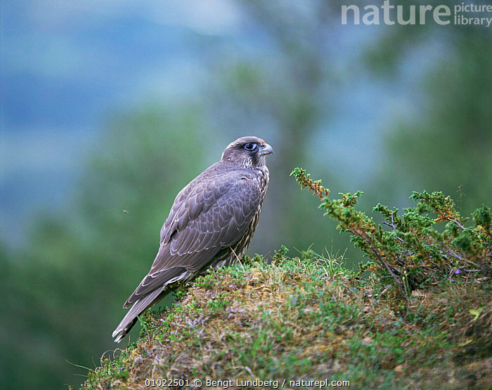 Juvenile gyrfalcon perched on rock (Falco rusticolus) Sweden, BIRDS,BIRDS OF PREY,FALCONS,JUVENILE,PORTRAITS,SWEDEN,VERTEBRATES,Europe,Scandinavia, Bengt Lundberg