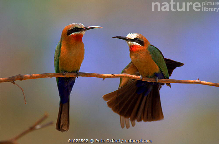 White fronted bee eater pair, Okavango Delta, Botswana, Africa, BOTSWANA,HORIZONTAL,OKAVANGO,AFRICA,COLOURFUL,MALE FEMALE PAIR,BIRDS,TWO,FRIENDSHIP,PO,CONCEPTS, Pete Oxford