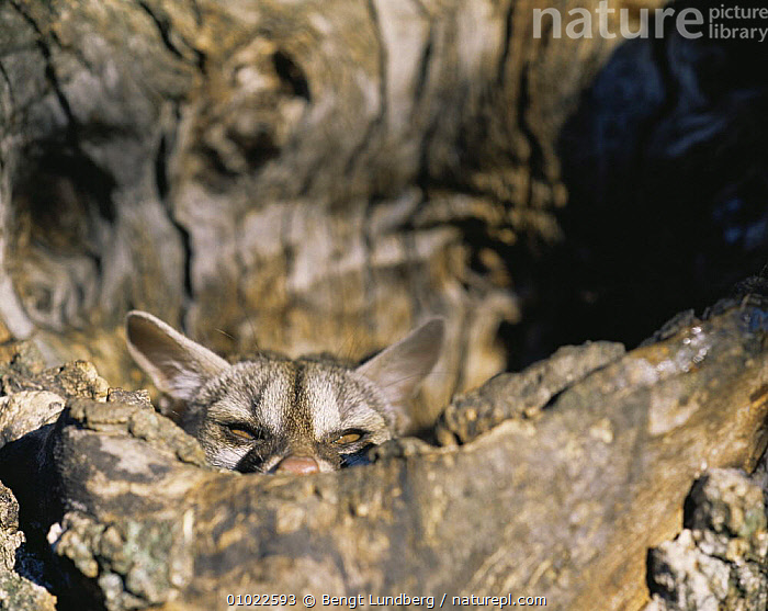 Small spotted genet (Genetta genetta) hiding in a tree, Cabaneros, Spain, CAMOUFLAGE,CARNIVORES,CUTE,EARS,EUROPE,FACES,GENETS,MAMMALS,SPAIN,TREES,TRUNKS,VERTEBRATES,Plants,Civets, Bengt Lundberg