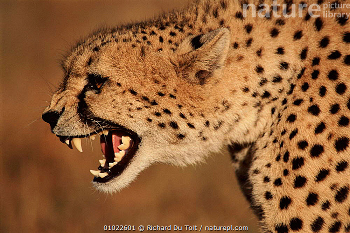 Cheetah snarling, AFRICA,TEETH,HORIZONTAL,OUTSTANDING,PROFILE,RDT,CARNIVORES,AGGRESSION,SNARLING,MAMMALS,CAPTIVE,HEADS,CONCEPTS, Richard Du Toit