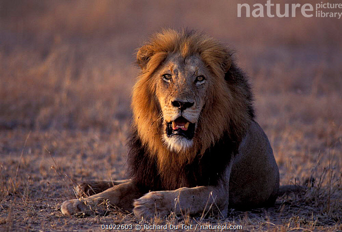 Male Lion, Kruger NP, South Africa. (Panthera leo), AFRICA,BIG CATS,LIONS,MALES,MAMMALS,OUTSTANDING, Richard Du Toit