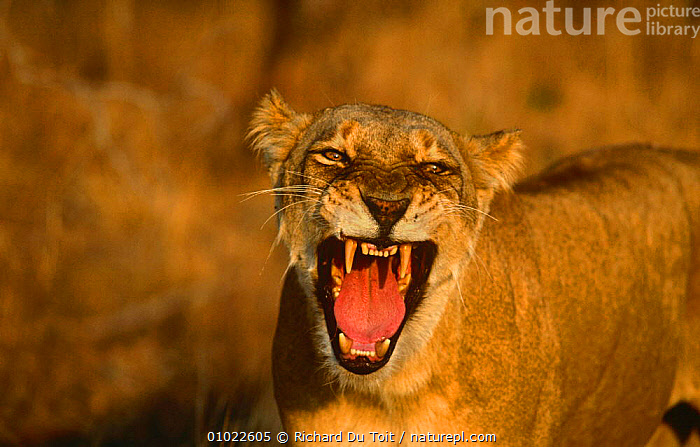 Lioness yawning (Panthera leo) Mala Mala GR, South Africa, AFRICA,BEHAVIOUR,BIG CATS,CARNIVORES,CATS,FEMALES,LION,LIONS,MAMMALS,MOUTHS,TEETH,VERTEBRATES, Richard Du Toit