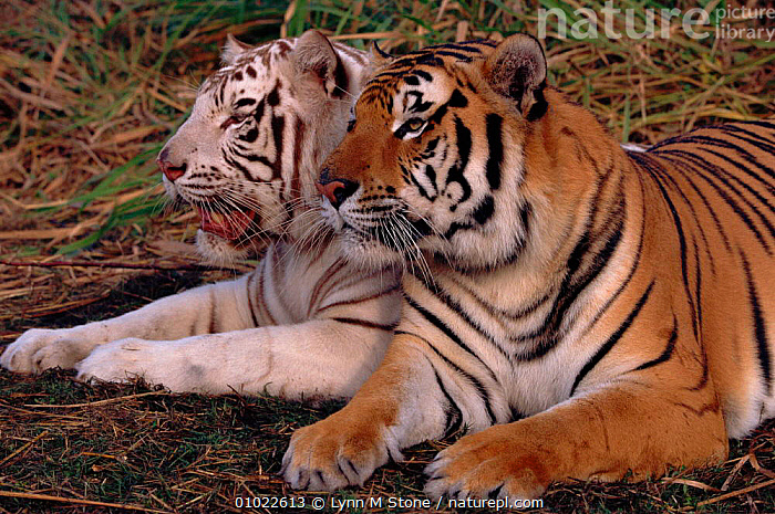 Pair of Bengal tigers {Panthera tigris tigris}. White and golden. C Panthera., DIMORPHISM,SKIN,CAPTIVE,C,PAIR,INTERESTING,WHITE,LS,TIGERS,TWO,CUTE,FRIENDSHIP,HAIR,INDIAN SUBCONTINENT,MAMMALS,CATS,HORIZONTAL,ASIA,CONCEPTS,BIG CATS, Lynn M Stone