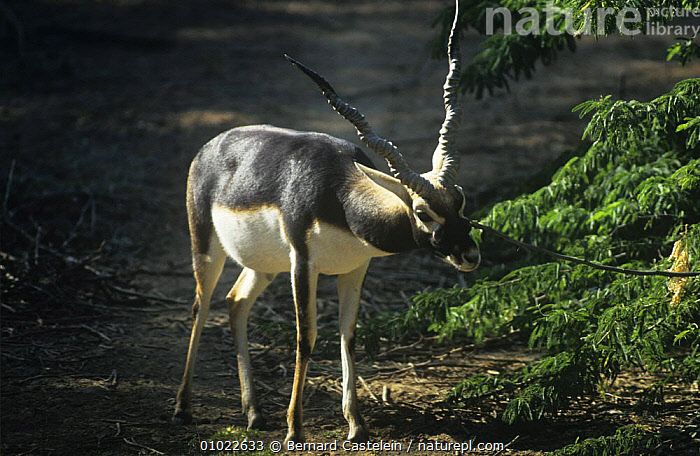 Male Blackbuck {Antilope cervicapra} male marking territory from facial gland, C Gajner Sanctuary, Rajasthan, India., ANTELOPES,ARTIODACTYLA,BEHAVIOUR,BLACKBUCKS,BOVIDS,INDIAN SUBCONTINENT,MALES,MAMMALS,TERRITORIAL,VERTEBRATES,Asia, Bernard Castelein