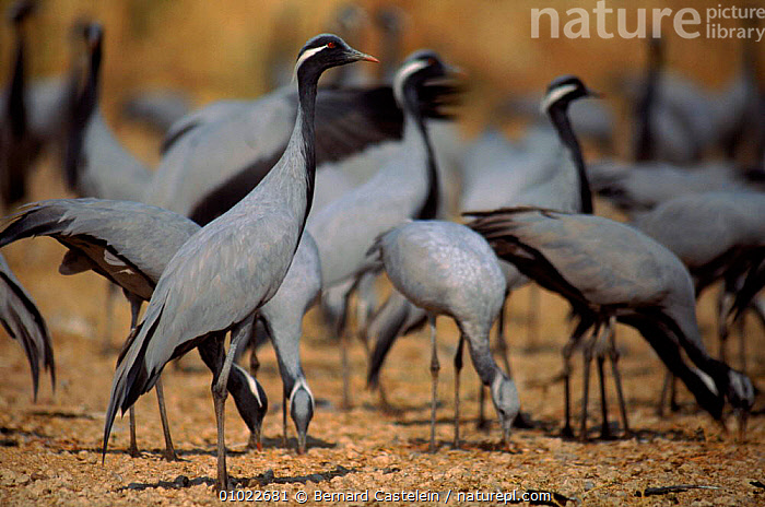 Demoiselle cranes at feeding atation, Khichan, Rajasthan, India, GROUPS,HORIZONTAL,INDIA,INDIAN SUBCONTINENT,FLOCKS,RAJASTHAN,FEEDING,BC,KHICHAN,DESERTS,BIRDS,,ASIA, Bernard Castelein
