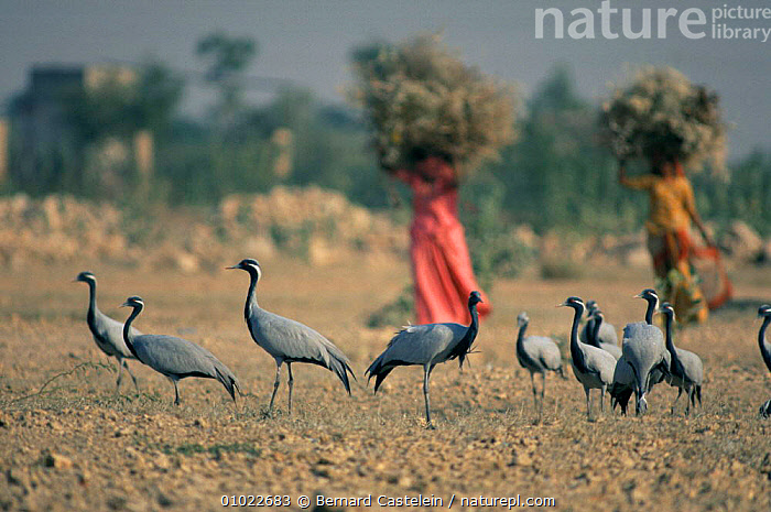 Demoiselle cranes {Anthropoides virgo} with local people, Khichan, Rajasthan, India, ASIA,BIRDS,DESERTS,GROUPS,LANDSCAPES,TRADITIONAL,VERTEBRATES, Bernard Castelein
