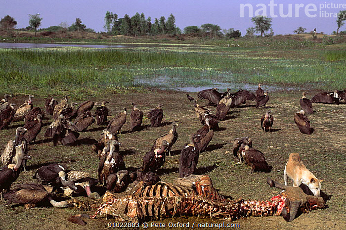 Long billed vultures (Gyps indicus) and feral dog scavenging dead buffalo, Rajasthan, India, BIRDS,BIRDS OF PREY,CANIDS,CARCASS,DEATH,DOGS,ENDANGERED,FEEDING,GROUPS,INDIAN SUBCONTINENT,MAMMALS,SCAVENGING,VERTEBRATES,VULTURES,WETLANDS,Asia, Pete Oxford