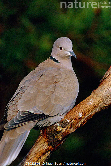 Collared dove perched  (Streptopelia decaocto) UK, BIRD,BIRDS,ENGLAND,EUROPE,NBE,ONE,PIGEONS,PORTRAITS,UK,UNITED KINGDOM,BRITISH,DOVES, Nigel Bean