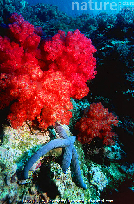 Coral reef with soft corals and starfish, Richelieux Rock, Andaman Sea, Thailand  Indian Ocean, CORAL REEFS,CORALS,INDIAN OCEAN,INVERTEBRATES,LANDSCAPES,OCEAN,STARFISH,Marine,Anthozoans, Cnidaria, Georgette Douwma