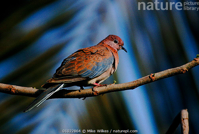 Laughing dove on perch. The Gambia, West Africa, , AFRICA, BIRDS, COLUMBIFORMES, DOVES, HORIZONTAL, VERTEBRATES, Mike Wilkes