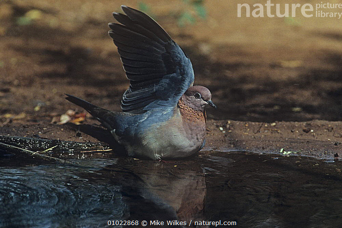 Laughing dove (Spilopelia senegalis) with wings raised, bathing, Senegal, W Africa, BATHING, BEHAVIOUR, BIRDS, COLUMBIFORMES, DOVES, VERTEBRATES, WATER, WEST-AFRICA,Africa, Mike Wilkes