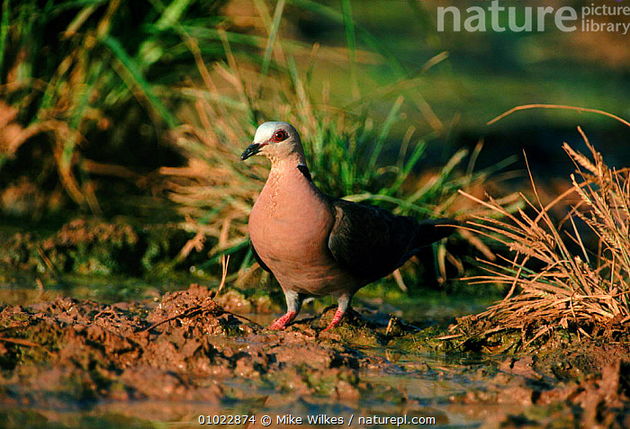 Red eyed dove, The Gambia West Africa, WEST AFRICA,HORIZONTAL,AFRICA,MW,BIRDS,GAMBIA,DOVES, Mike Wilkes