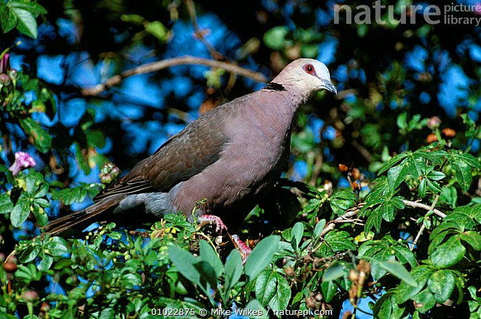 Red eyed dove (Streptopelia semitorquata) Gambia W Africa, AFRICA,BIRDS,COLUMBIFORMES,DOVES,RED,VERTEBRATES,WEST AFRICA, Mike Wilkes