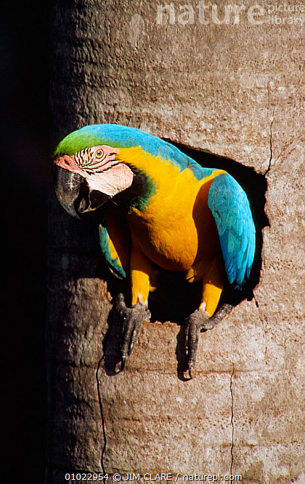 Blue and yellow macaw at nest entrance, Aguaje palm swamp, Tambopata-Candamo, Peru, BIRDS,NESTS,PARROTS,RESERVE,SOUTH AMERICA,VERTICAL,ZONE,Macaws, JIM CLARE