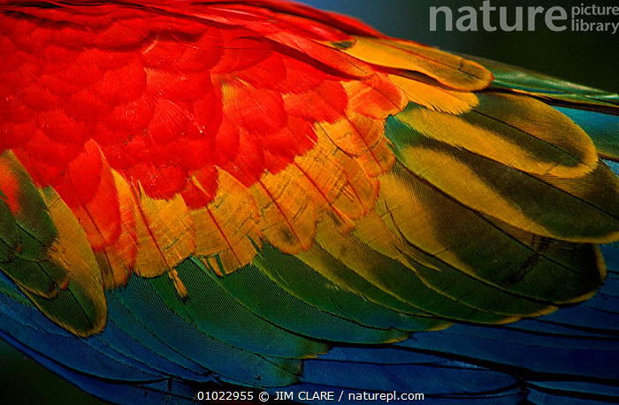 Wing detail of scarlet macaw, Peru, SOUTH AMERICA,HORIZONTAL,PATTERNS,BIRDS,COLOURFUL,WINGS,FEATHERS,JC,PARROTS,MACAWS, JIM CLARE