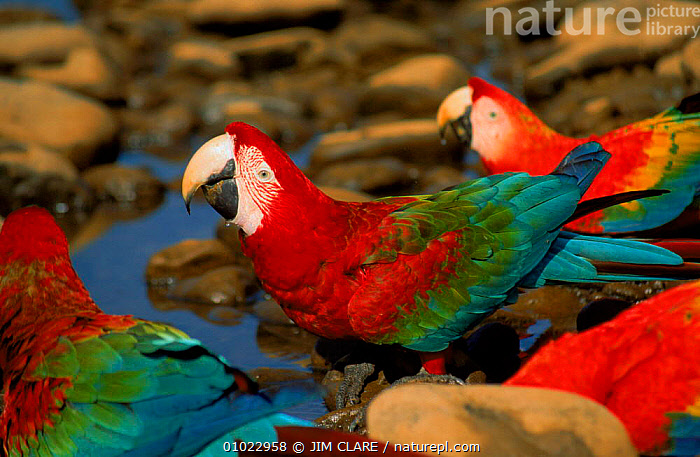 Green winged macaws and Scarlet macaws drinking, Peru, JC,SCARLET,BIRDS,WATER,COLOURFUL,SOUTH AMERICA,DRINKING,PERU,PARROTS,MACAWS, JIM CLARE