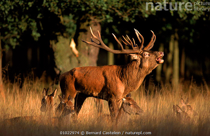 Male Red deer bellowing during rut. Denmark, Jaegersborg Dyrehaven Copenhagen, DEER,JAEGERSBORG,EUROPE,HORIZONTAL,GROUPS,MAMMALS,VOCALISATION,DYREHAVEN,DENMARK,DISPLAY,BC,MALES,MATING BEHAVIOUR,SCANDINAVIA,REPRODUCTION,COMMUNICATION, Bernard Castelein