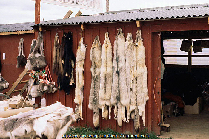 Grey wolf skin pelts and products (Canis lupus) Finland., CANIDS,CARNIVORES,DEATH,FUR,HUNTING,MAMMALS,SKINS,TRADE,TRADITIONAL,TRAPPING,VERTEBRATES,WILDLIFE,WOLVES,Dogs, Bengt Lundberg