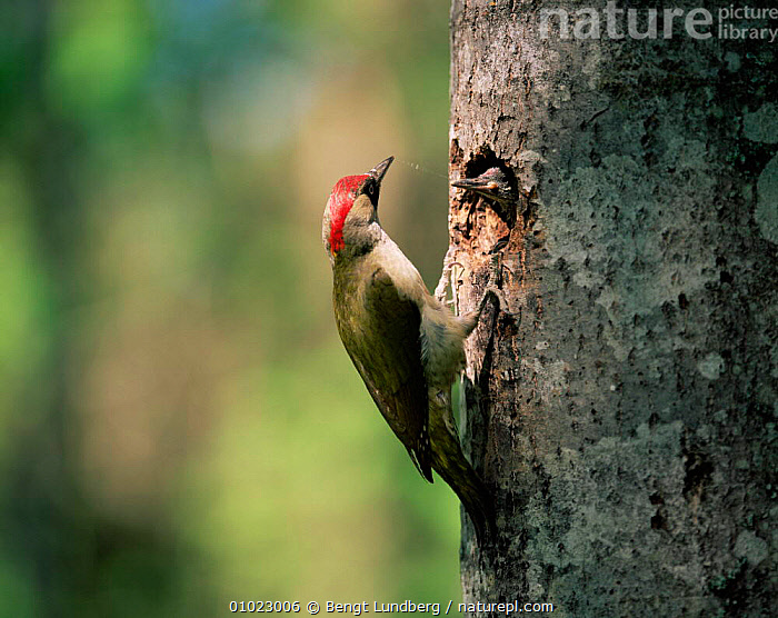 Female Green woodpecker at nest with young (Picus viridis) Sweden, BABIES,BIRDS,FAMILIES,FEEDING,FEMALES,GREEN,NESTS,PARENTAL,SWEDEN,VERTEBRATES,WOODPECKERS,Europe,Scandinavia, Bengt Lundberg