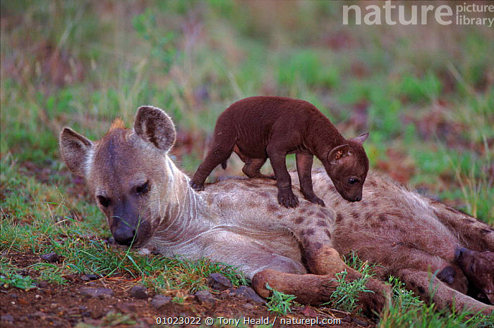 Spotted hyaena {Crocuta crocuta} mother with cub climbing over it, Kruger NP, South Africa., AFRICA,BABIES,CARNIVORES,CUTE,FAMILIES,HORIZONTAL,HYAENAS,MAMMALS,NP,SOUTHERN AFRICA,VERTEBRATES,National Park,Catalogue1, Tony Heald
