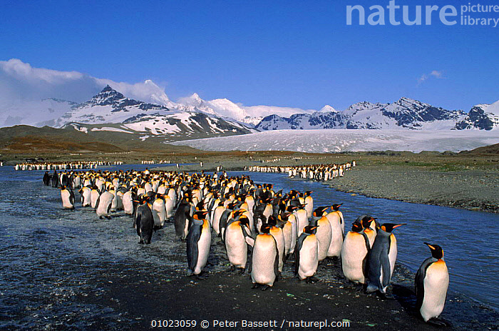 King Penguins, St.Andrews Bay, South Georgia., ,GROUPS,BAY,PB,BEACHES,HORIZONTAL,FLOCKS,SOUTH GEORGIA,LANDSCAPES,ANDREWS,MOUNTAINS,COASTS,GLACIERS,ST ANDREWS,ANTARCTICA,BIRDS ,GLACIAL FEATURES,GEOLOGY,PENGUINS,SEABIRDS, Seabirds,FALKLAND ISLANDS, Peter Bassett