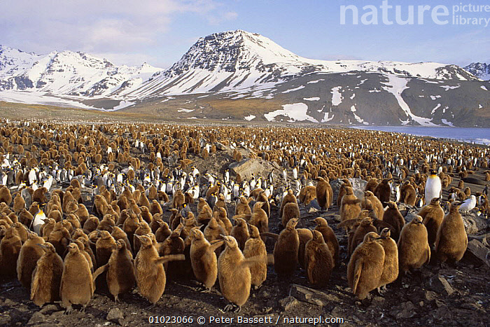 Creche of King Penguin (Aptenodytes patagoni) chicks, South Georgia, St Andrews Bay, Antarctica., ANTARCTICA,BIRDS,CHICKS,COASTS,COLONY,CUTE,FLOCKS,GROUPS,JUVENILE,LANDSCAPES,MOUNTAINS,PENGUINS,SEABIRDS,VERTEBRATES, Seabirds, Peter Bassett