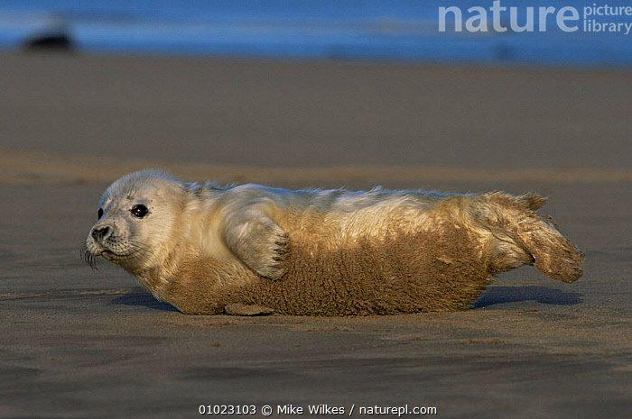 Grey Seal pup on the beach in Humberside. (Halichoerus grypus), BABIES,BEACHES,CARNIVORES,COASTS,CUTE,MAMMALS,MARINE,PINNIPEDS,PORTRAITS,SEALS,VERTEBRATES, Mike Wilkes
