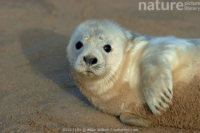 Grey Seal pup on the beach in Humberside. (Halichoerus grypus), BABIES,BEACHES,CARNIVORES,COASTS,CUTE,MAMMALS,MARINE,PINNIPEDS,PORTRAITS,SEALS,VERTEBRATES, CARNIVORES , CARNIVORES ,GettyBOV, Mike Wilkes