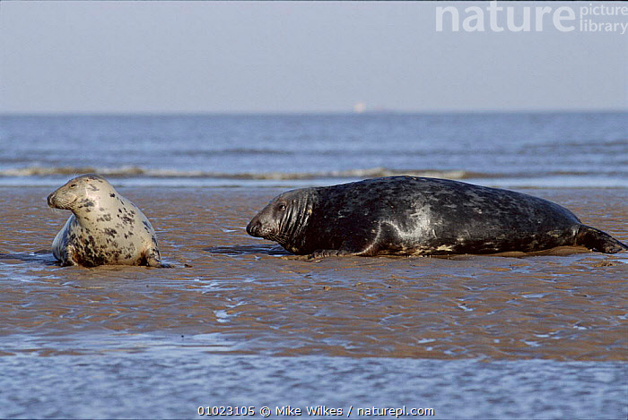 Grey Seal on the beach with pup. Humberside, England, HUMBERSIDE,FAMILIES,MARINE,COASTS,HORIZONTAL,PUP,ENGLAND,BEACHES,MW,PINNIPEDS,EUROPE,LANDSCAPES,MAMMALS,JUVENILE, Mike Wilkes