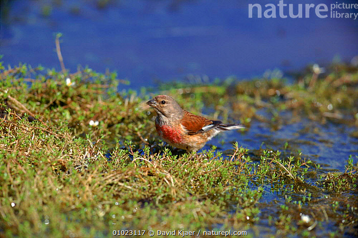 Linnet (Acanthis cannabina) at water in Sussex. England Male breeding plumage., EUROPE,ENGLAND,HORIZONTAL,MALE,SUSSEX,DK,WATER,BIRDS,FINCHES, David Kjaer