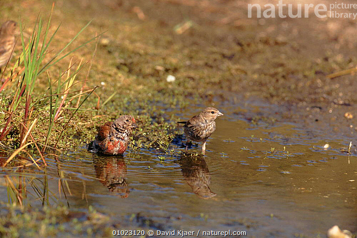 Linnets drinking, Sussex, England, BIRDS,BRITISH,DK,DRINKING,ENGLAND,EUROPE,HORIZONTAL,PASSERINES,TWO,UK,UNITED KINGDOM,WATER, David Kjaer