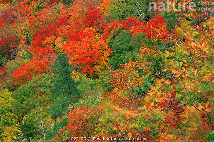 Looking down on autumn colours in mixed woodland canopy, White Mountains in the Saco Valley, New Hampshire, USA, AUTUMN,COLOURFUL,LANDSCAPES,LEAVES,MIXED WOOD,NORTH AMERICA,PLANTS,TREES,USA,ENGLAND, David Noton