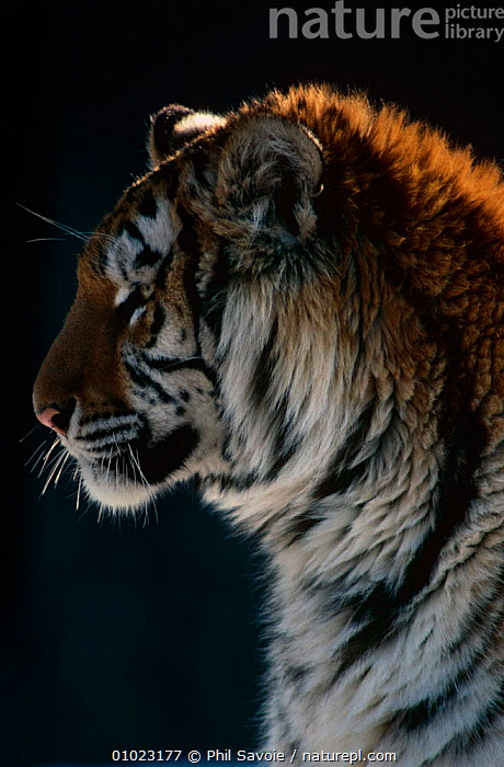 Siberian tiger (Panthera tigris altaica) Captive, Connecticut Zoo, USA, BIG CATS,CARNIVORES,CATS,ENDANGERED,MAMMALS,PORTRAITS,TIGERS,VERTICAL,ZOOS, Phil Savoie