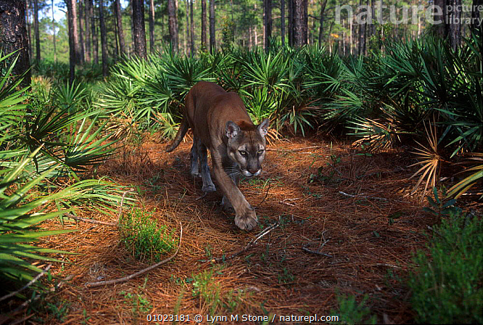 Florida panther  (Felis concolor) USA captive, CATS,ENDANGERED,FLORIDA,HABITAT,LS,MAMMALS,NORTH AMERICA,PANTHER,USA,WALKING,Catalogue1, Lynn M Stone