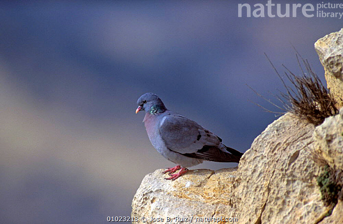 Stock dove perched on rock (Columba oenas) Alicante, SPAIN, BIRDS,COLUMBIFORMES,DOVES,SPAIN,VERTEBRATES,Europe, Jose B. Ruiz