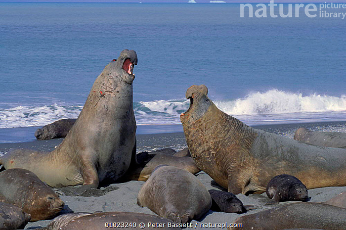 Southern elephant seals (Mirounga leonina) males fighting. South Georgia St Andrews Bay Antarctica, SUB ANTARCTIC,ANDREWS,DOMINANCE,PB,TERRITORIAL,ANTARCTICA,FIGHTING,GEORGIA,MALES,MAMMALS,BAY,SEALS,AGGRESSION,HORIZONTAL,CONCEPTS, Peter Bassett