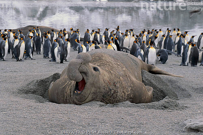 Aggressive bull elephant seal and penguins on beach at  St Andrews Bay, South Georgia, MIXED SPECIES,PORTRAITS,BIRDS,FALKLAND,ISLANDS,HORIZONTAL,TERRITORIAL,MAMMALS,COASTS,SOUTH GEORGIA,BEACH,MALES,PENGUINS,PB,ANDREWS,FALKLAND ISLANDS, Peter Bassett