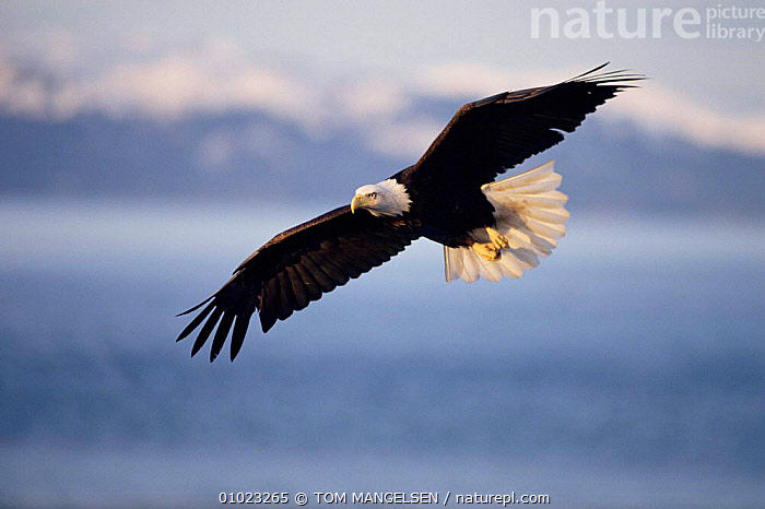 American bald eagle in flight. {Haliaeetus leucocephalus) Alaska., USA,EAGLES,FLYING,FLIGHT,ALASKA,BIRDS OF PREY,BIRDS,North America,Raptor, TOM MANGELSEN