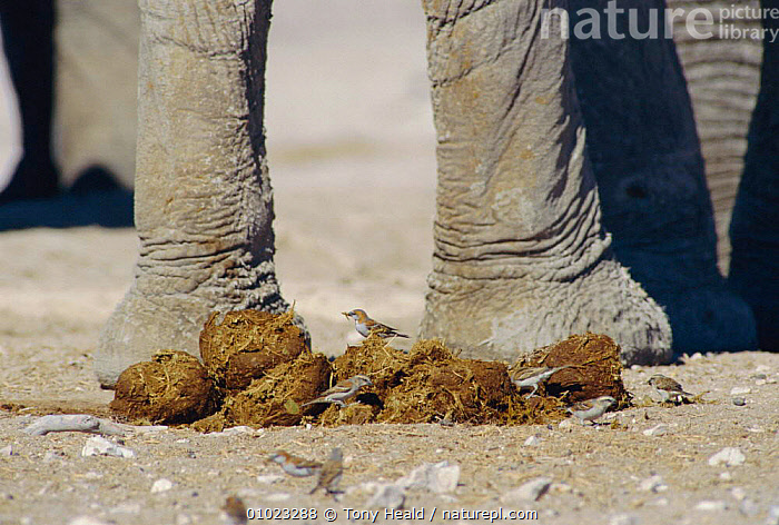 Birds / sparrows searching for seeds in elephant dung, Etosha NP, Namibia, CLOSE UPS,DECOMPOSITION,DISPERSAL,ELEPHANTS,FAECES,FEEDING,FEET,INTERESTING,LAFRICANA,LIMBS,MAMMALS,OUTSTANDING,PROBOSCIDS,RECYCLING,SOUTHERN AFRICA,VELDT,Grassland, Tony Heald