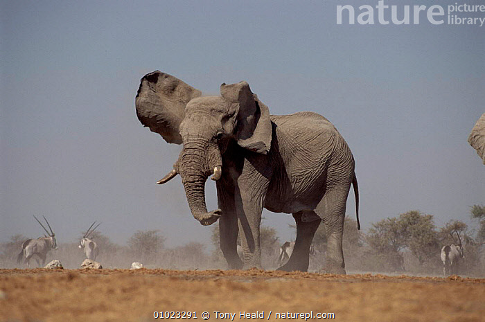 African elephant with ears flapping. Etosha National Park, Namibia. Oryx in background., RESERVE,FLAPPING,HORIZONTAL,MAMMALS,EARS,AFRICA,PROBOSCIDS,ORYX,TH,ETOSHA,SOUTHERN AFRICA,NAMIBIA,VELDT,GRASSLAND,ELEPHANTS, Tony Heald
