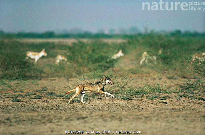 Wild Indian grey wolf (Canis lupus) hunting Khur / Indian wild ass (Equus hemionus khur) Little Rann of Kutch, Gujarat, India, ASS,CANIDS,CARNIVORES,CHASING,DESERTS,ENDANGERED,HORSES,HUNTING,INDIAN SUBCONTINENT,LANDSCAPES,MAMMALS,RARE,RUNNING,VERTEBRATES,WOLVES,Asia,Dogs, Anup Shah