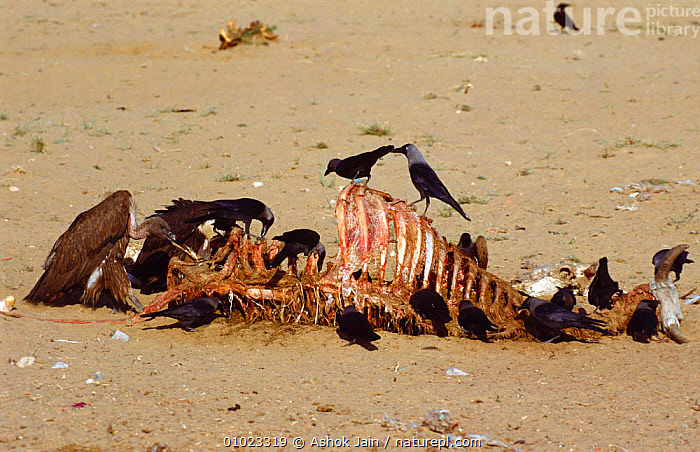 House crows (Corvus splendens) & Indian white backed vulture feed on cattle carcass, India, BIRDS,CARCASS,CORVIDS,CROWS,FEEDING,FLOCKS,GROUPS,INDIAN SUBCONTINENT,MIXED SPECIES,SCAVENGERS,SCAVENGING,VERTEBRATES,Asia, Ashok Jain