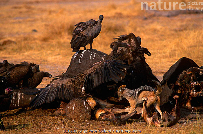 Black backed jackal {Canis mesomelas} and Vultures scavenging on African elephant carcass, Botswana, AFRICA,BEHAVIOUR,BIRDS,CANIDS,CARNIVORES,DEATH,FEEDING,JACKALS,MAMMALS,MIXED SPECIES,SOUTHERN AFRICA,VERTEBRATES,Dogs, Pete Oxford