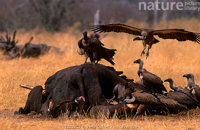 African elephant carcass (Loxodonta africana) with Vultures scavenging, Botswana, BIRDS,DEATH,ELEPHANTS,ENDANGERED,FEEDING,MAMMALS,MIXED SPECIES,PROBOSCIDS,SOUTHERN AFRICA,VELDT,VERTEBRATES,Grassland, Pete Oxford